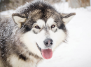 Meeting_with_the_Alaskan_Malamute_for_two-1