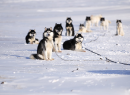 Skijoring_with_Malamute-1